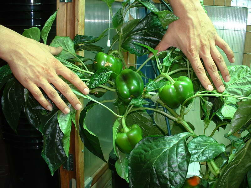 Picture of: Indoor Vegetable Gardening for beginers