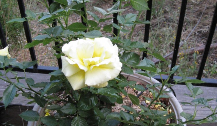 Picture of: Rose Fertilizer for Vegetable Garden
