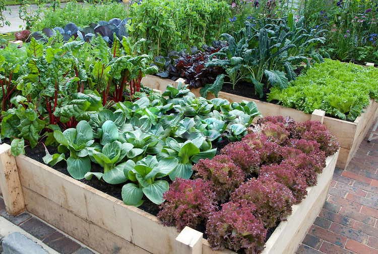 Picture of: Vegetable Garden with Lettuces